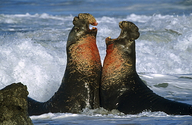 Northern Elephant Seal (Mirounga angustirostris) males fighting, Point Piedras Blancas, Big Sur, California