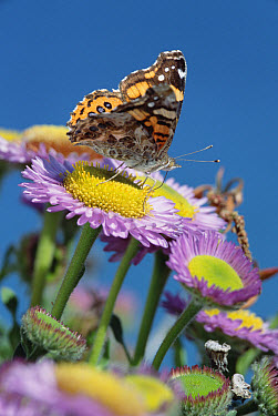 Painted Lady (Vanessa cardui) butterfly on Purple Aster (Aster foliaceus), California  -  Tim Fitzharris