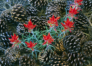 Indian Paintbrush (Castilleja miniata) surrounded by pine cones, South Rim, Grand Canyon National Park, Arizona  -  Tim Fitzharris