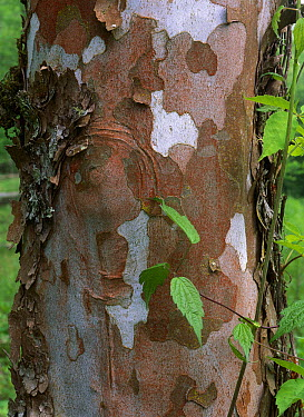 Sycamore (Platanus sp) bark, Great Smoky Mountains National Park, Tennessee  -  Tim Fitzharris
