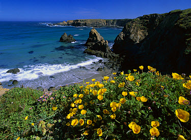 California Poppy (Eschscholzia californica) cluster growing on coastal cliff, Jughandle State Reserve, Mendocino County, California  -  Tim Fitzharris