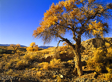 Cottonwood (Populus sp) trees in autumn, Teec Nos Pos, Arizona  -  Tim Fitzharris