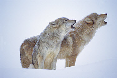 Timber Wolf (Canis lupus) pair howling in snow, North America  -  Tim Fitzharris