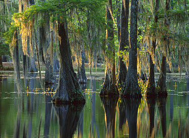 Bald Cypress (Taxodium distichum) swamp, Sam Houston Jones State Park, Louisiana  -  Tim Fitzharris