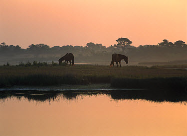 Chincoteague wild ponies, Assateague Island National Seashore, Maryland  -  Tim Fitzharris