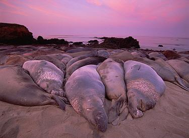 Northern Elephant Seal (Mirounga angustirostris) group resting on beach, Point Piedras Blancas, California  -  Tim Fitzharris