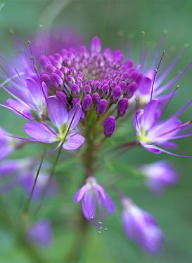 Rocky Mountain Bee Plant (Cleome serrulata) flower, Great Sand Dunes National Monument, Colorado  -  Tim Fitzharris