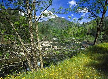 Yellow Daisies along the Merced River, Yosemite National Park, California  -  Tim Fitzharris