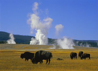 American Bison (Bison bison) herd grazing near Fountain Paint Pots, Yellowstone National Park, Wyoming  -  Tim Fitzharris