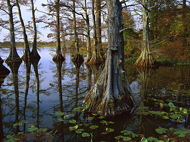 Bald Cypress (Taxodium distichum) at upper Blue Basin, this is a major migratory bird stopover for the Mississippi Flyway, Reelfoot National Wildlife Refuge, Tennessee  -  Tim Fitzharris