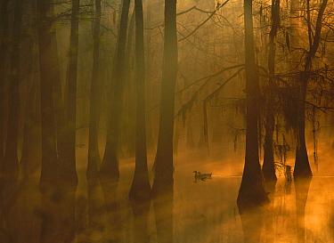 Mallard (Anas platyrhynchos) pair in Dwarf Cypress (Taxodium sp) swamp, Calcasieu River, Lake Charles, Louisiana  -  Tim Fitzharris