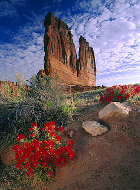 Paintbrush (Castilleja sp) and the Organ Rock, Arches National Park, Utah  -  Tim Fitzharris