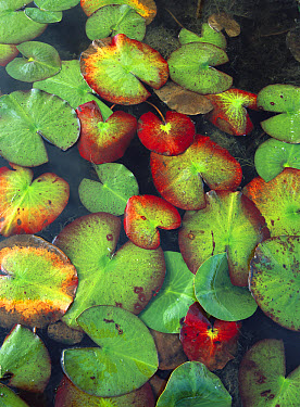 Yellow Pond Lily (Nuphar luteum) floating on water surface, North America  -  Tim Fitzharris