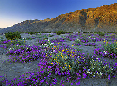 Sand Verbena (Abronia sp) and Desert Sunflowers (Geraea canescens), Anza-Borrego Desert State Park, California  -  Tim Fitzharris