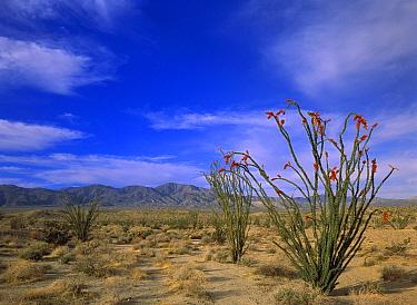 Ocotillo (Fouquieria splendens) and the Vallecito Mountains, Anza-Borrego Desert State Park, California  -  Tim Fitzharris