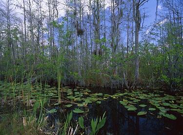 Swamp along Tamiami Trail Scenic Highway, southwest Florida  -  Tim Fitzharris