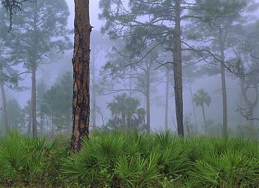 Saw Palmetto (Serenoa repens) and Pine (Pinus sp) trees (Pinus sp) in fog, near Estero River, Florida  -  Tim Fitzharris