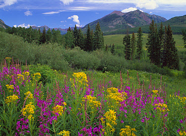 Groundsel (Senecio sp) and Fireweed (Chamerion angustifolium) with Mt Belleview, Colorado  -  Tim Fitzharris