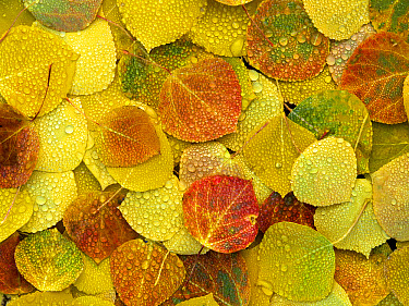 Fallen autumn colored Aspen leaves on the ground covered in dew droplets, Colorado  -  Tim Fitzharris