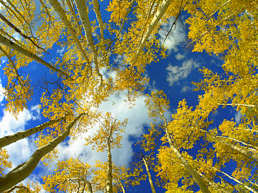 Looking up at blue sky through a canopy of fall colored Aspen trees, Colorado  -  Tim Fitzharris