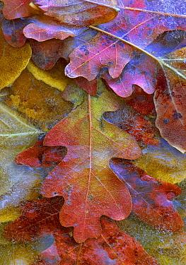Fallen autumn colored Oak leaves frozen on the ground  -  Tim Fitzharris