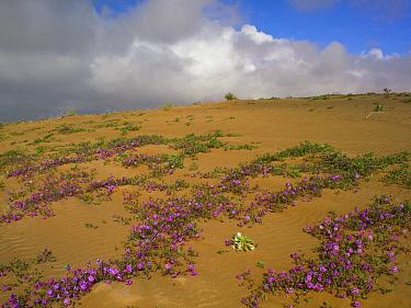 Sand Verbena (Abronia sp) growing, Imperial Sand Dunes, California  -  Tim Fitzharris