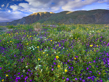 Wildflowers carpeting the ground beneath Coyote Peak, Anza-Borrego Desert, California  -  Tim Fitzharris