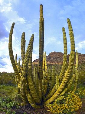 Organ Pipe Cactus (Stenocereus thurberi), Arizona  -  Tim Fitzharris