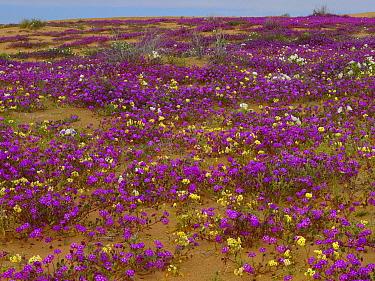 Sand Verbena (Abronia sp) carpeting the ground, Imperial Sand Dunes, California  -  Tim Fitzharris