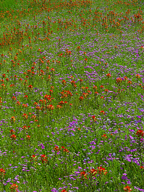 Pointed Phlox (Phlox cuspidata) and Indian Paintbrushes (Castilleja miniata) in bloom, Hill Country, Texas  -  Tim Fitzharris