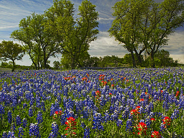 Sand Bluebonnet (Lupinus subcarnosus) and Indian Paintbrush (Castilleja miniata) flowers in bloom, Hill Country, Texas  -  Tim Fitzharris