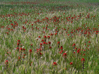 Paintbrush (Castilleja sp) and Bulbous Barley (Hordeum murinum), Hill Country, Texas  -  Tim Fitzharris