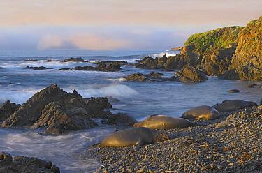 Northern Elephant Seal (Mirounga angustirostris) group resting on the beach, Point Piedras Blancas, California  -  Tim Fitzharris