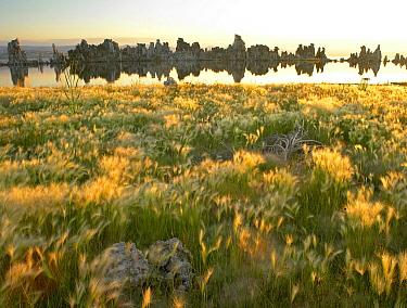 Squirreltail Barley (Hordeum jubatum) and Tufa Towers silhouetted at dawn, Mono Lake, California  -  Tim Fitzharris