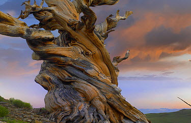 Foxtail Pine (Pinus balfouriana) tree, twisted trunk of an ancient tree, Sierra Nevada, California  -  Tim Fitzharris