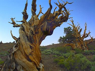 Foxtail Pine (Pinus balfouriana) tree, ancient trees, Schulman Grove, White Mountains, California  -  Tim Fitzharris