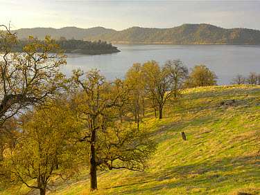 New Melones Lake surrounded by foothill Oak woodlands, man-made reservoir managed by Central Valley Project, Calaveras County, California  -  Tim Fitzharris
