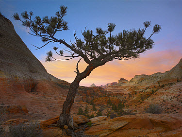 Lone pine tree with East and West Temples in the background, Zion National Park, Utah  -  Tim Fitzharris