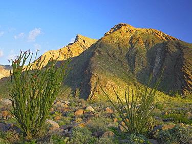 Ocotillo (Fouquieria splendens) and other desert vegetation Anza-Borrego Desert State Park, California  -  Tim Fitzharris