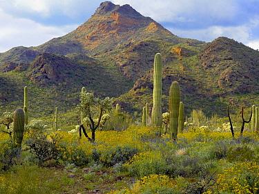 Saguaro (Carnegiea gigantea) and Teddybear Cholla (Cylindropuntia bigelovii) amid flowering Lupine and California Brittlebush (Encelia californica), Arizona  -  Tim Fitzharris