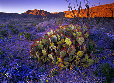 Opuntia (Opuntia sp) in Chihuahuan Desert landscape, Big Bend National Park, Texas  -  Tim Fitzharris