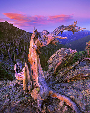 Rocky Mountains Bristlecone Pine (Pinus aristata) tree overlooking forest, Rocky Mountain National Park, Colorado  -  Tim Fitzharris