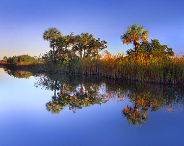 Royal Palm (Roystonea regia) trees and reeds along waterway, Fakahatchee State Preserve, Florida  -  Tim Fitzharris