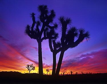Joshua Tree (Yucca brevifolia) group at sunrise near Quail Springs, Joshua Tree National Park, California  -  Tim Fitzharris