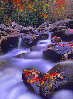 Autumn leaves on wet boulders Little Pigeon River Cascade, Tennessee  -  Tim Fitzharris
