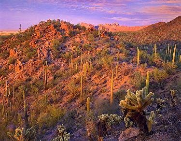 Saguaro (Carnegiea gigantea) and Teddybear Cholla (Cylindropuntia bigelovii) cacti covering Panther and Safford Peaks, Saguaro National Park, Arizona  -  Tim Fitzharris