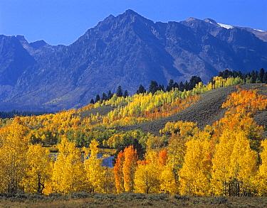 Quaking Aspen (Populus tremuloides) forest in autumn and Ranger Peak, Grand Teton National Park, Wyoming  -  Tim Fitzharris