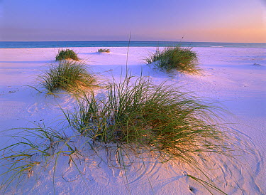 Sea Oats (Uniola paniculata) growing on beach, Santa Rosa Island, Gulf Islands National Seashore, Florida  -  Tim Fitzharris