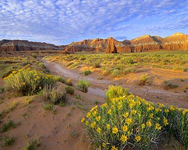 Wildflowers growing along dirt road, Temple of the Moon, Capitol Reef National Park, Utah  -  Tim Fitzharris