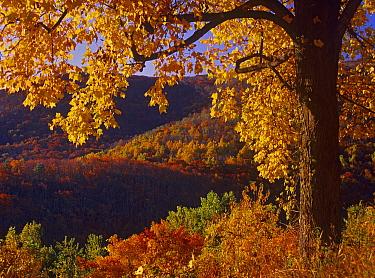 Autumn deciduous forest, Shenandoah National Park, Virginia  -  Tim Fitzharris
